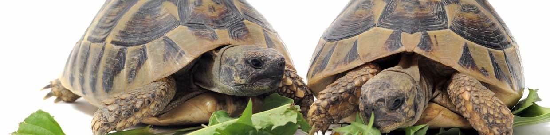 Tierarzt für Schildkröten